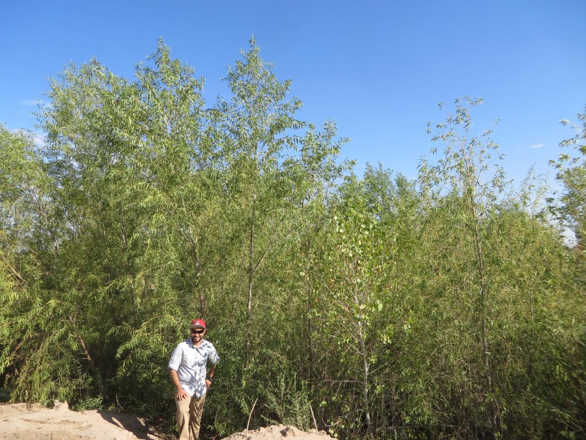 Hector Zamora, a monitoring team member and doctoral candidate in the UA Department of Geosciences, at a site that was cleared in advance of the pulse flow. The willows pictured here germinated after the pulse flow.