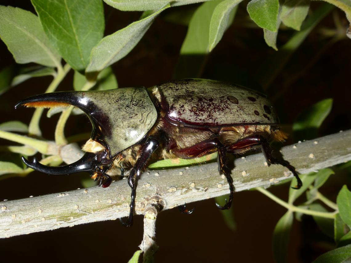 A western Hercules beetle up close
