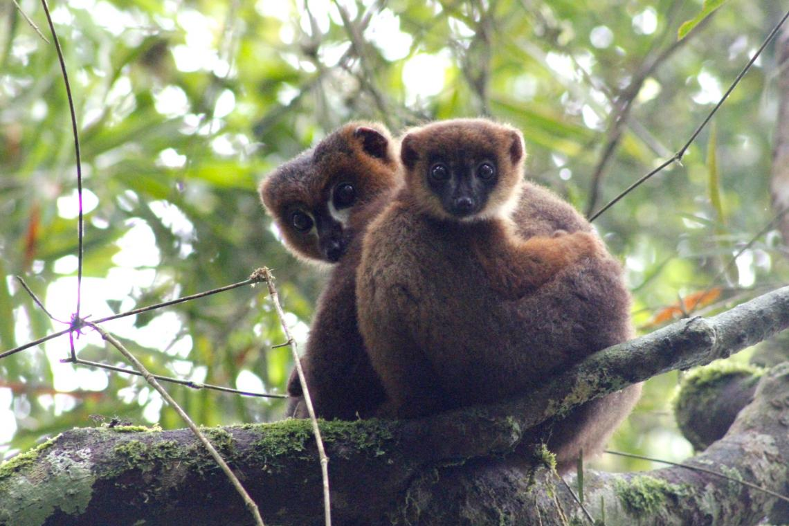 An adult male red-bellied lemur snuggles with his infant son.