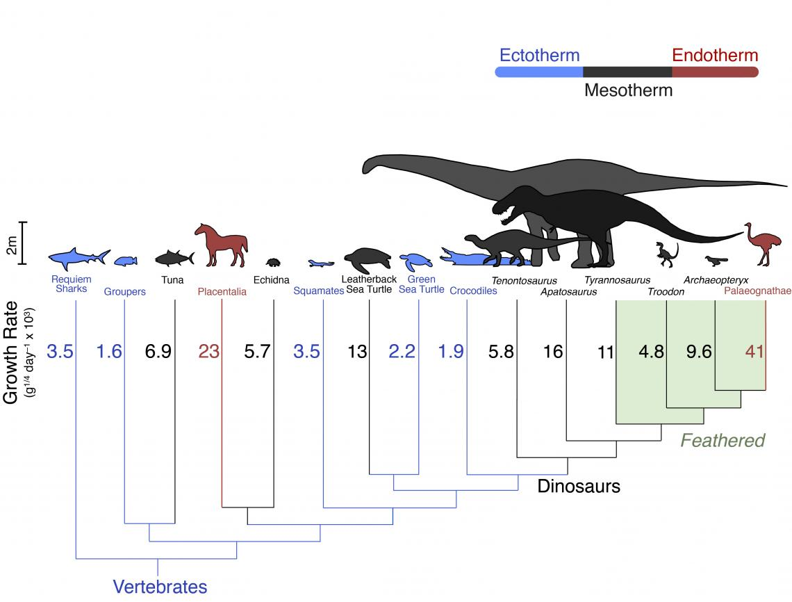 Growth rates across an evolutionary tree. Dinosaurs' growth rates fall in between warm-blooded mammals and birds  in red, and cold-blooded fish and reptiles  in blue. They are closest to living mesotherms such as tuna and leatherback turtles.