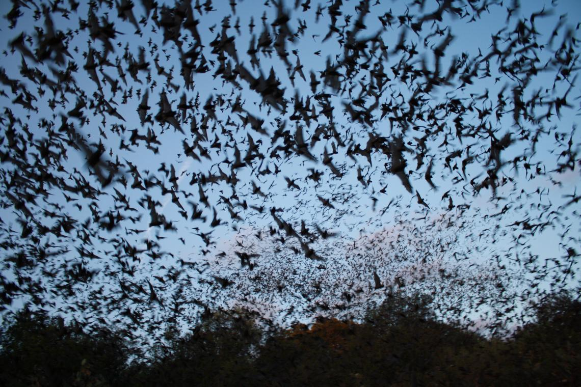 Mexican free-tailed bats exiting Bracken Bat Cave in Texas, summer home to the largest bat colony in the world.