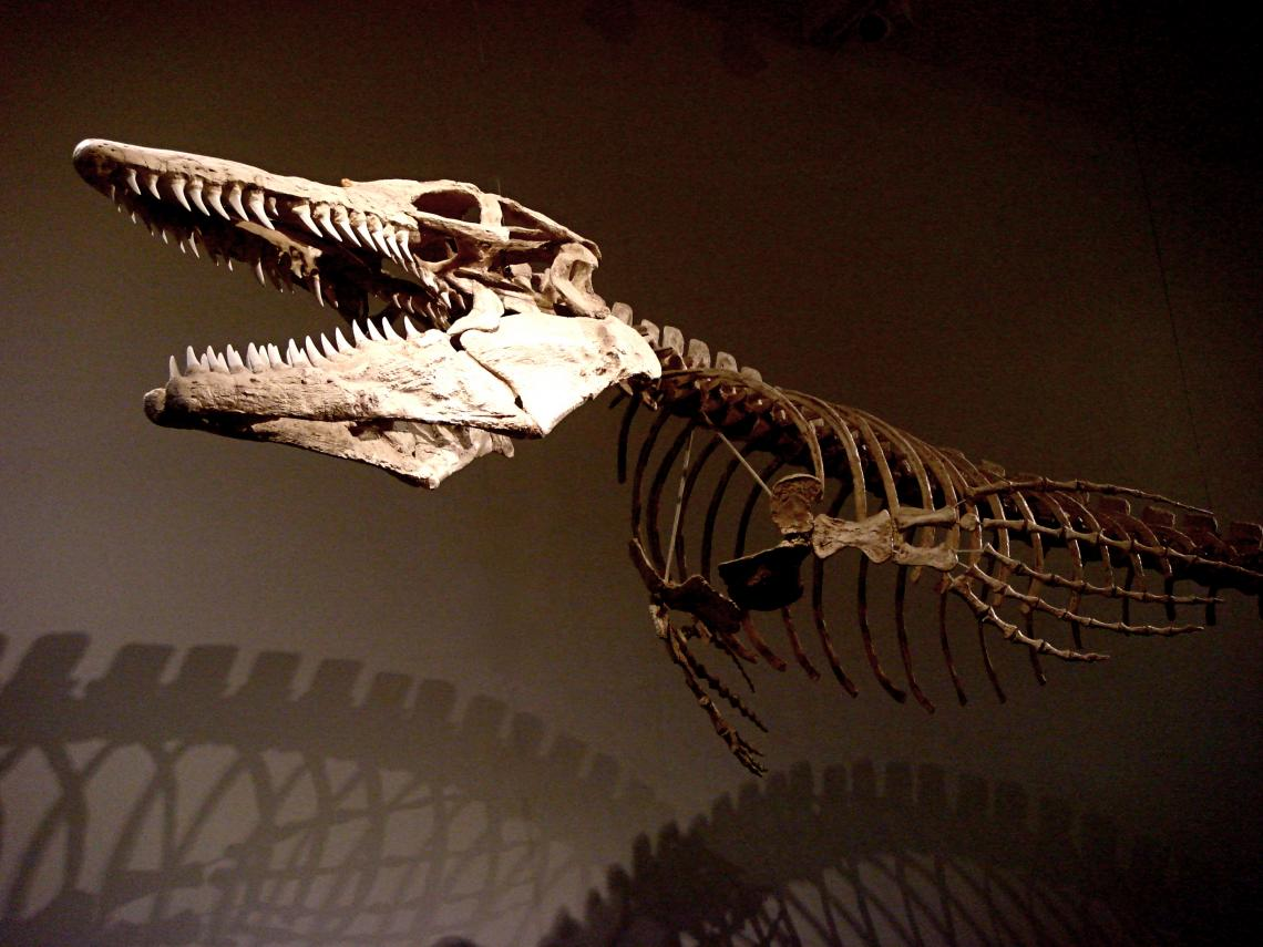 New research sheds light on the evolutionary relationships of living and extinct reptiles. This skeleton belonged to a mosasaur, a carnivorous marine lizard that died out with the dinosaurs 65 million years ago.