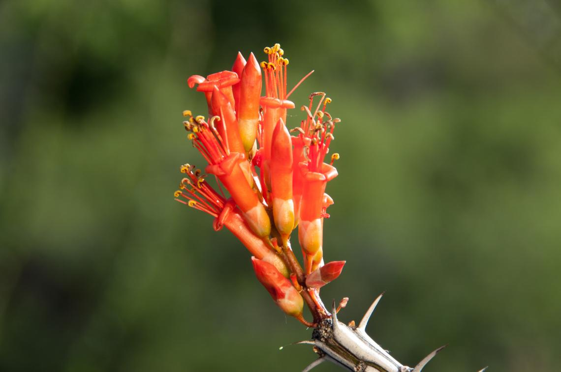 You can contribute to a nationwide effort to record plant and animal life cycle stages, like flowering of the Sonoran Desert's native ocotillo.