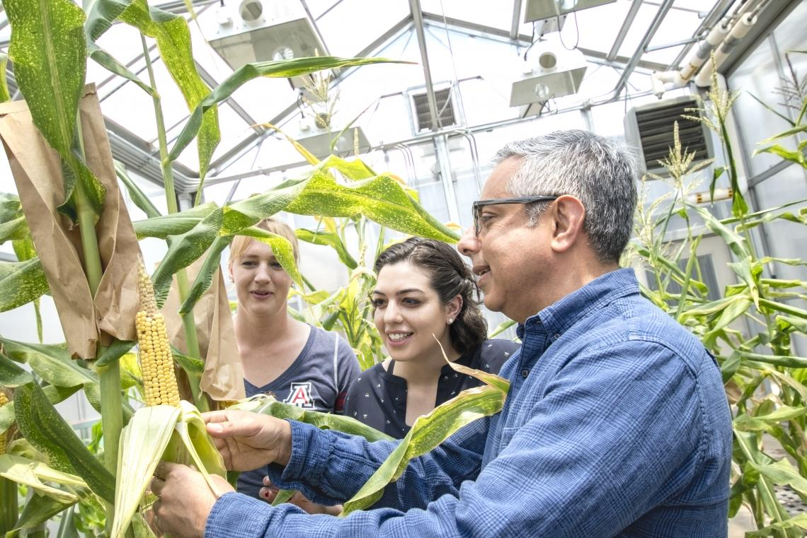 Ramin Yadegari, professor of plant sciences, holding an ear of maize, notes that pollination has produced kernels and discusses the stages of kernel development with students Tricia Ramsay, biochemistry and molecular and cellular biology with plant scienc