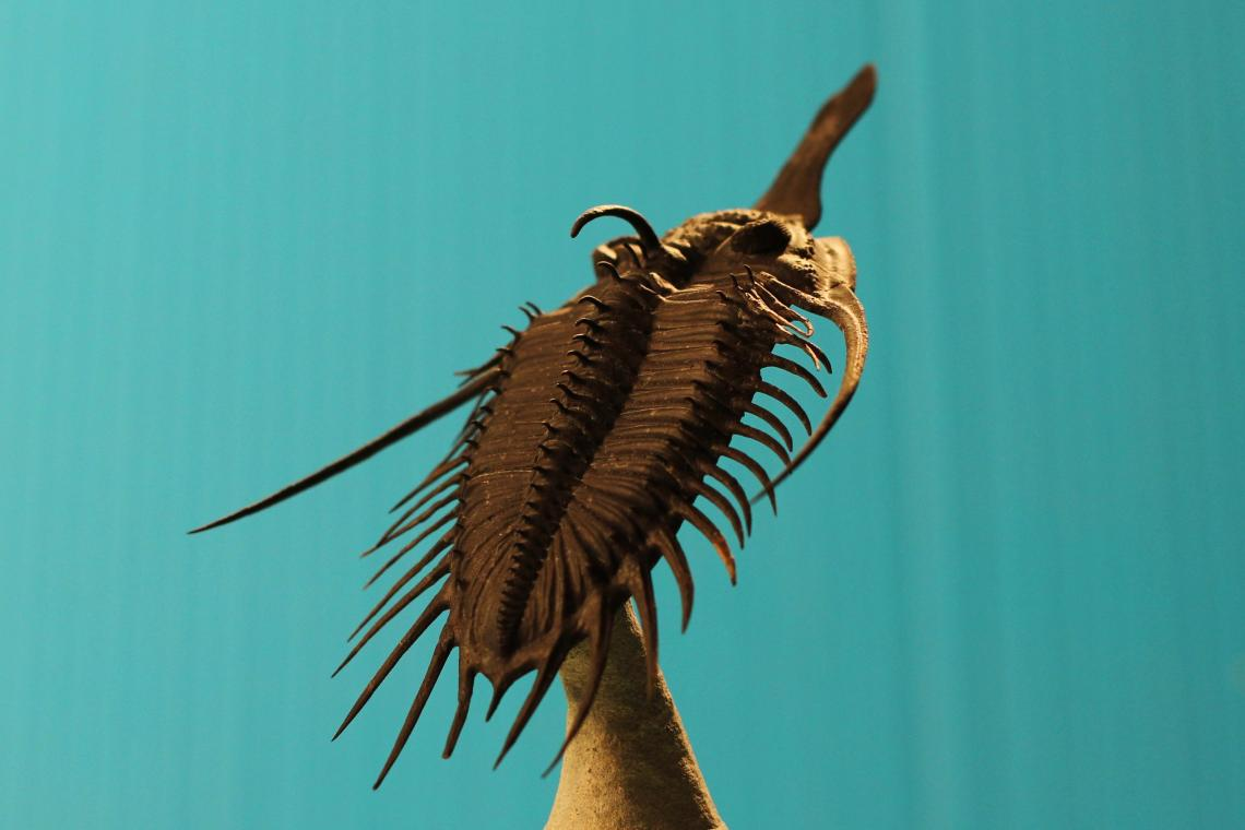 Psychopyge, a spectacular trilobite that lived in the Upper Devonian –about 370 million years ago. Specimens have been found in Germany and Morocco.