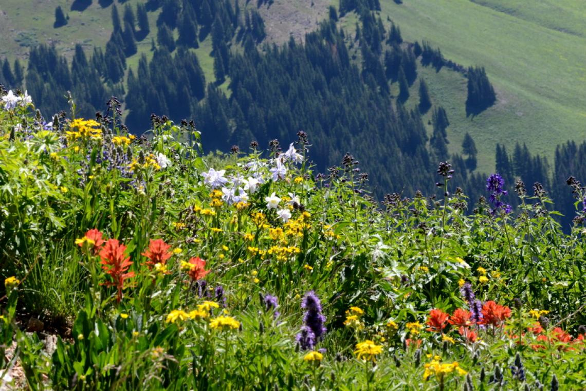 Over four decades, researchers have documented when flowers are in bloom at the Rocky Mountain Biological Laboratory.