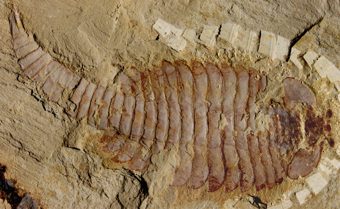 The original 520-million-year-old Fuxianhuia protensa specimen from the Chenjiang fossil beds in southwest China reveals the ancient arthropod was just shy of five inches.
