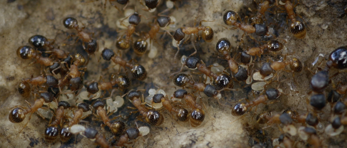 Temnothorax rugatulus ant colony
