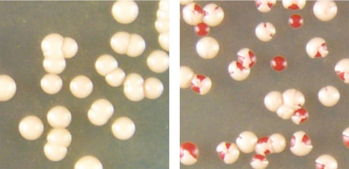 When colonies of baker's yeast cells that contain clumped prion proteins  are stressed by high temperatures, some can convert the aggregated prion proteins to the non-clumping form of the protein .
