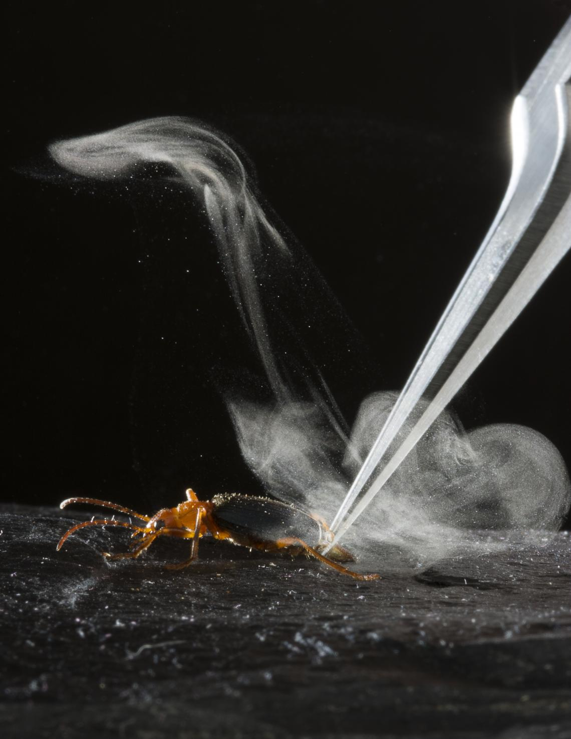 'Gunsmoke' wafts around a researcher's hand after a bombardier beetle of the species Brachinus elongatulus blasted in response to being grasped by forceps.