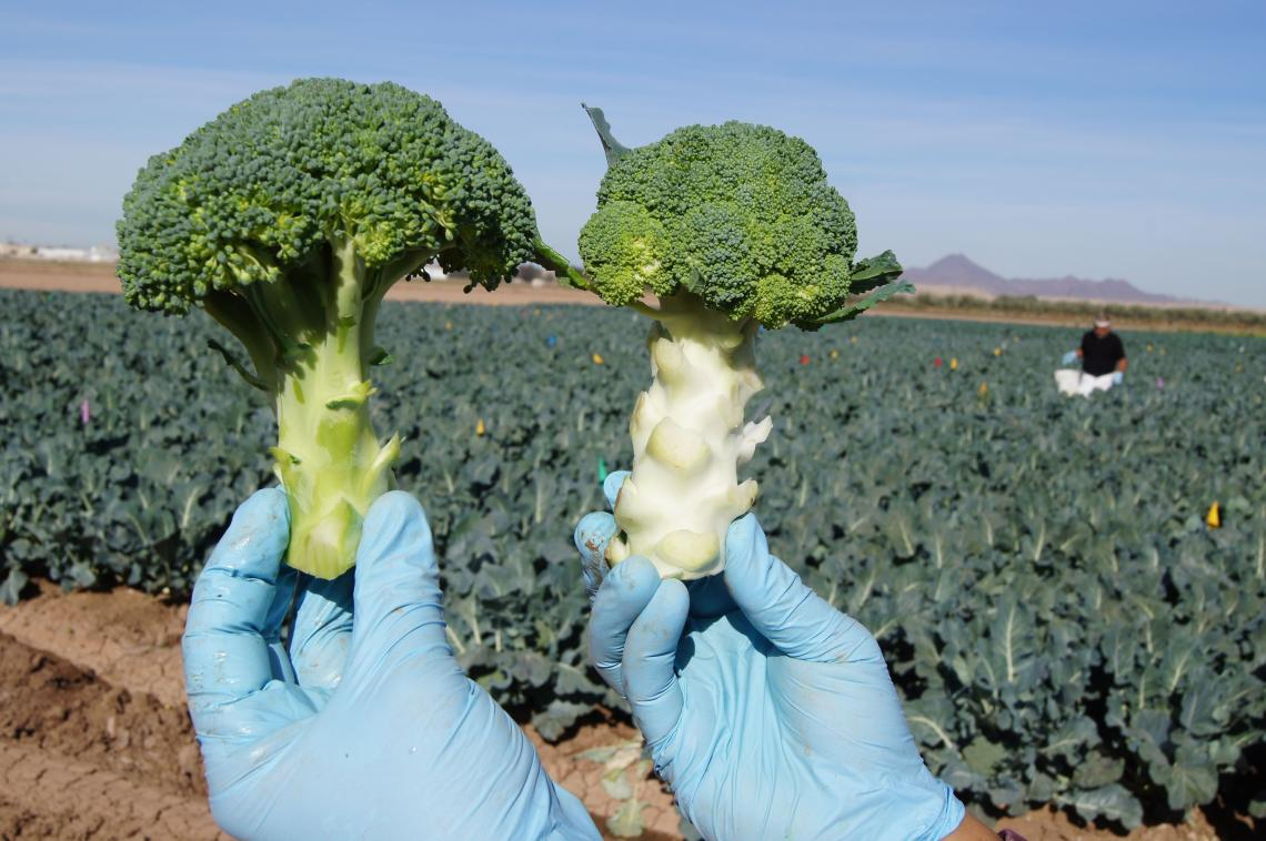 """Broccoli crowns harvested from a sweet potato whitefly trial. The chlorotic """"blanched"""" crown on the right was harvested from a plant heavily infested with whiteflies. The green """"normal"""" crown on left was whitefly-free."""