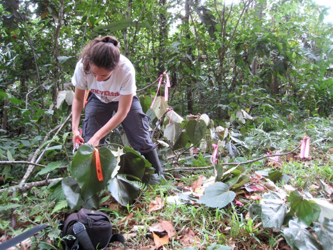 Cathy Hulshoff, a graduate student in Brian Enquist's group, takes measurements on a tree in the rainforest.