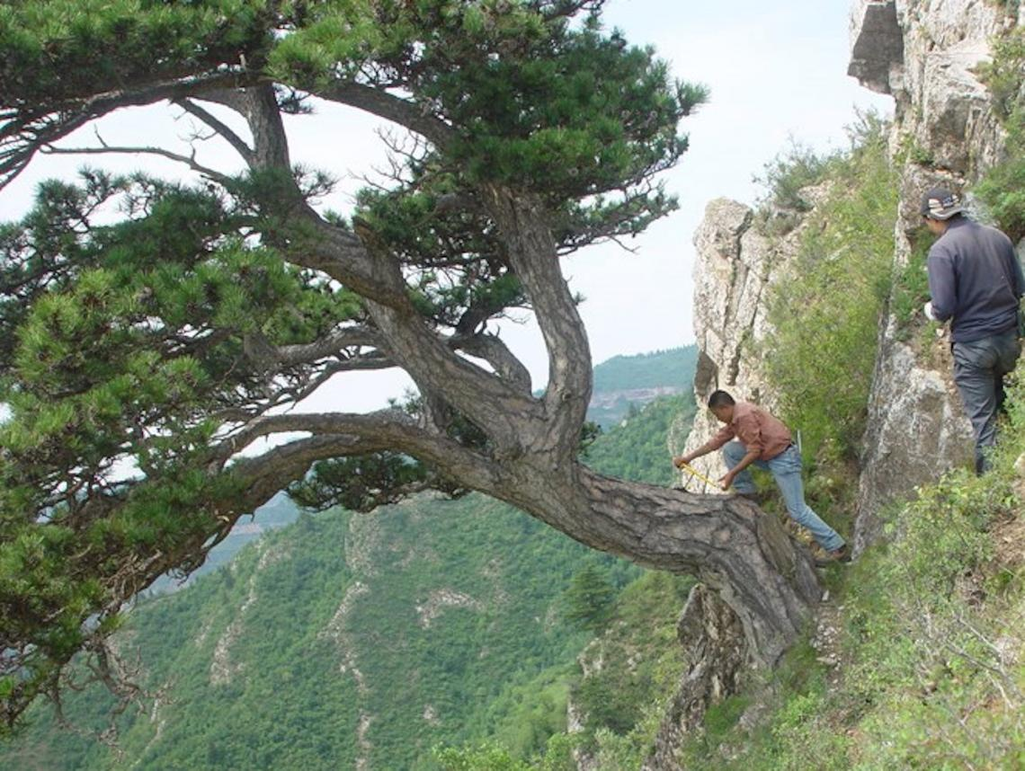 From left: Lei Wang and Jungang Dong of the Chinese Academy of Sciences in Xi'an, China, take a sample from an ancient southern Chinese pine tree on Mt. Helan in the western Loess Plateau of China.