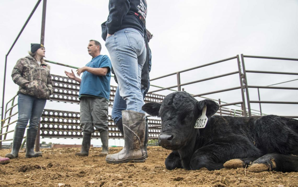 Peder Cuneo, a UA Cooperative Extension veterinarian, teaches a small class of veterinary science majors about calving management.