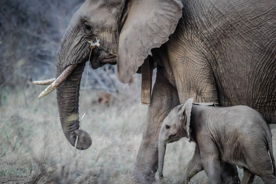 Elephants are an example of organisms that have few, but large, offspring. Elephants also put more energy into rearing their offspring than many animals, such as fish, which lay their eggs and leave them behind.