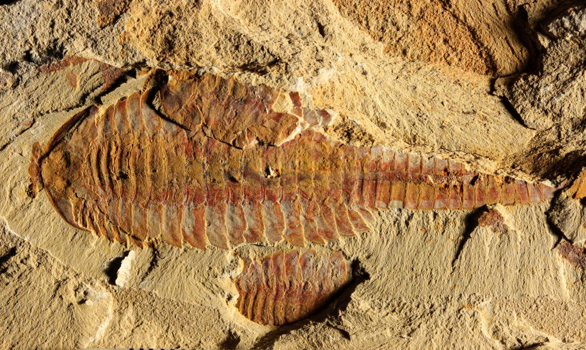 This image shows the dorsal view of Fuxianhuia protensa. The three-inch-long fossil was found in sediments dating from the Cambrian Period 520 million years ago in what today is the Yunnan province in China. Parts of the gut are visible as dark stains alo