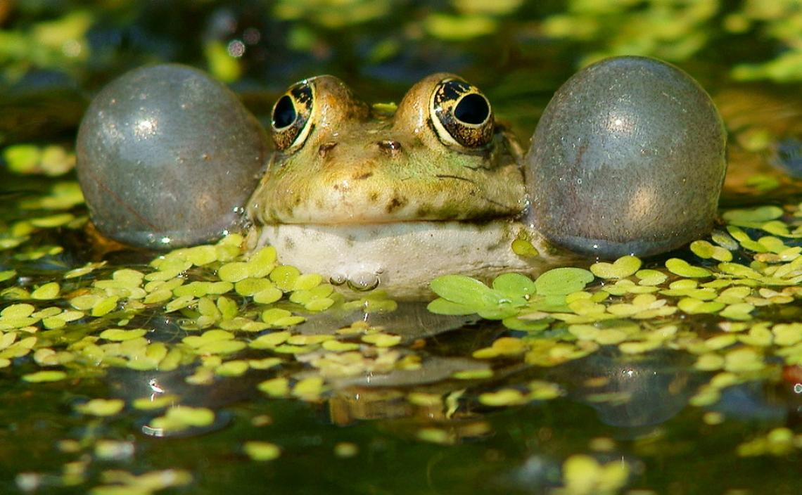Frogs, like mammals, originated as predominantly nocturnal animals, but maintained the ability to communicate acoustically after switching to being active during the day.