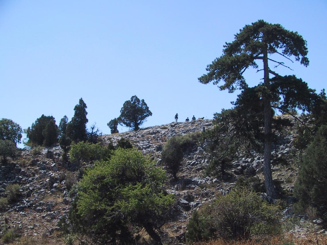 By studying the annual rings of trees such as the European black pines on this slope in Anatolia, Turkey, scientists figured out that the northern boundary of the tropics moved back and forth over the last 800 years.