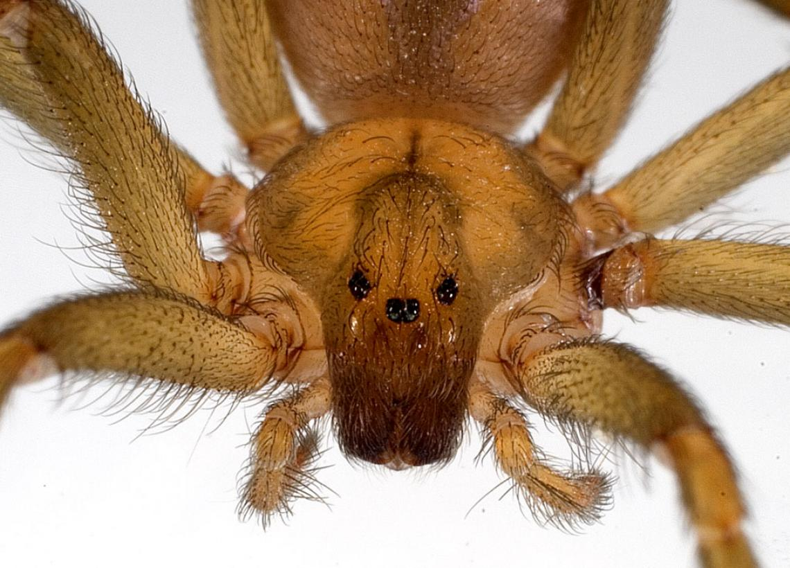 Loxosceles laeta, a South American brown spider, is one of three species whose venom was tested by UA researchers and found to produce a different chemical product than scientists previously believed.