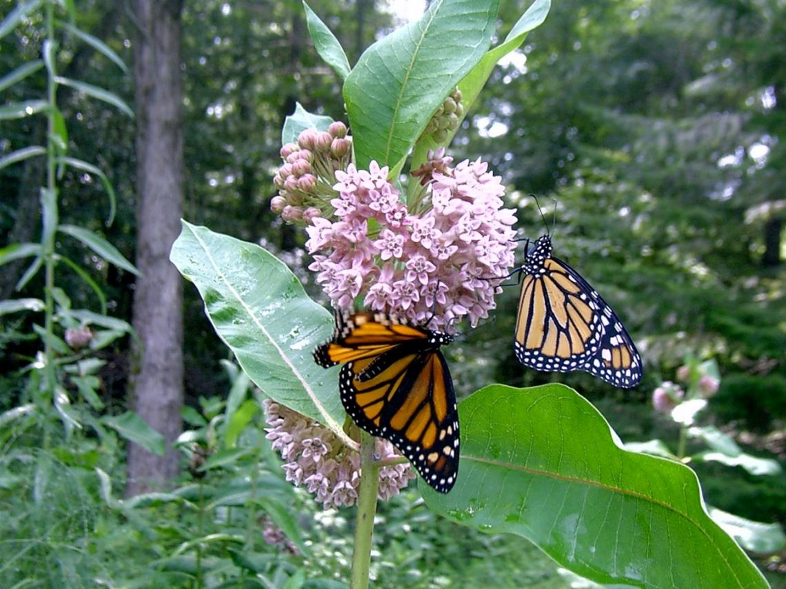 Two monarch butterflies sucking nectar on Common Milkweed, Asclepias syriaca. Of the 73 species of native milkweeds, this one is the most important for the monarch butterfly.