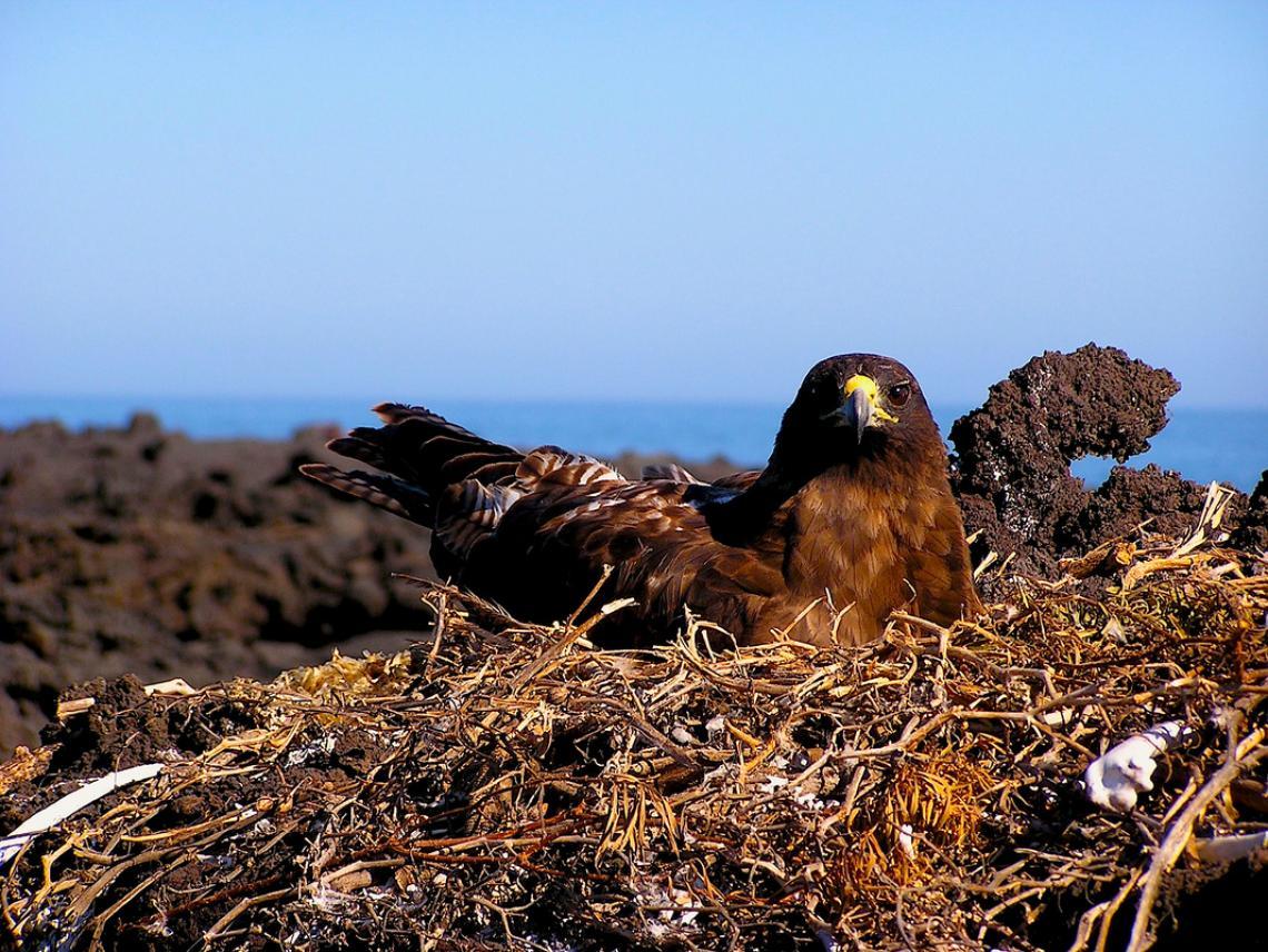A Galápagos hawk nesting on Isla Fernandina, Galapagos.