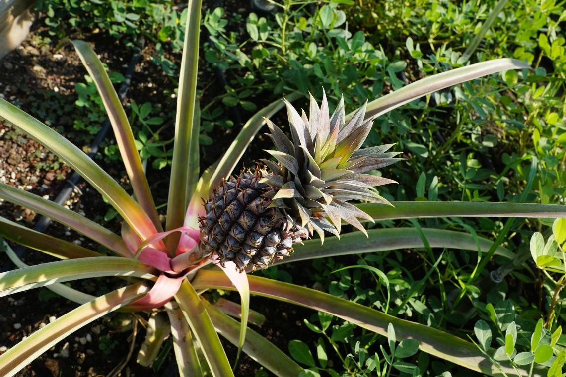 According to new research, plants such as pineapples aren't poikilotherms as previously believed.