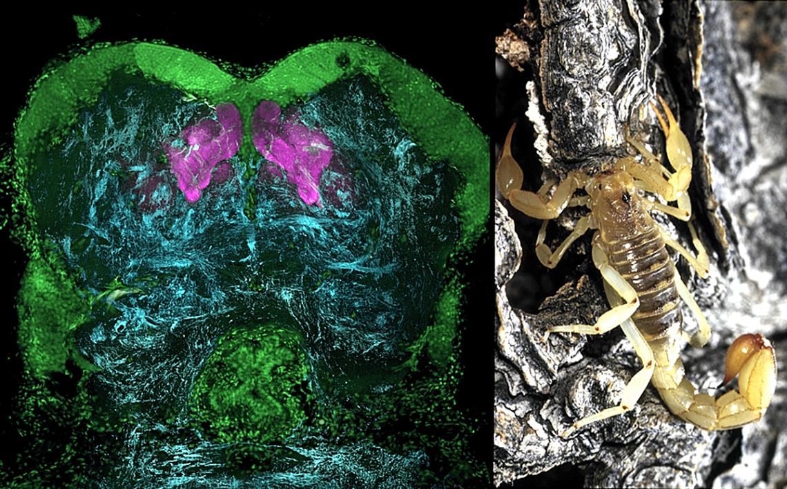 """Memory centers called mushroom bodies in the forebrain of a scorpion, revealed here by antibodies against """"memory protein"""" and shown in magenta."""