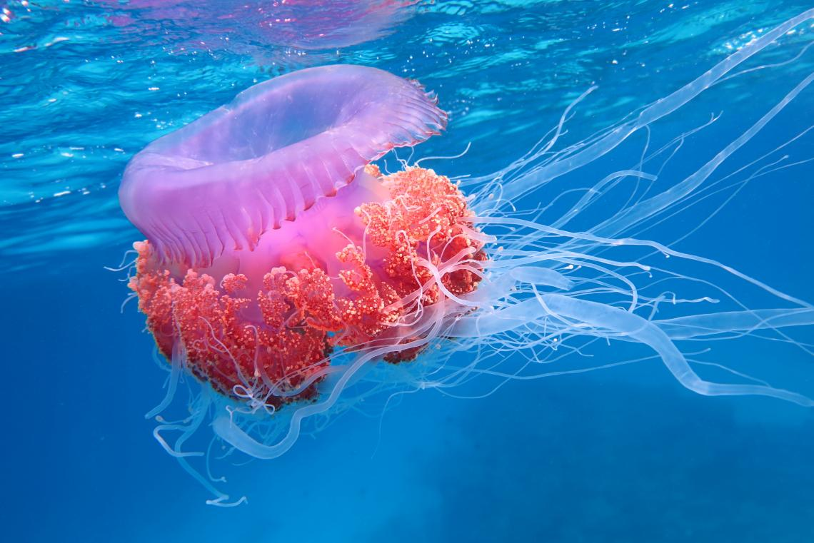Jellyfish, polyps and the like belong to a phylum called Cnidaria, one of about 30 major groups that make up the animal kingdom.