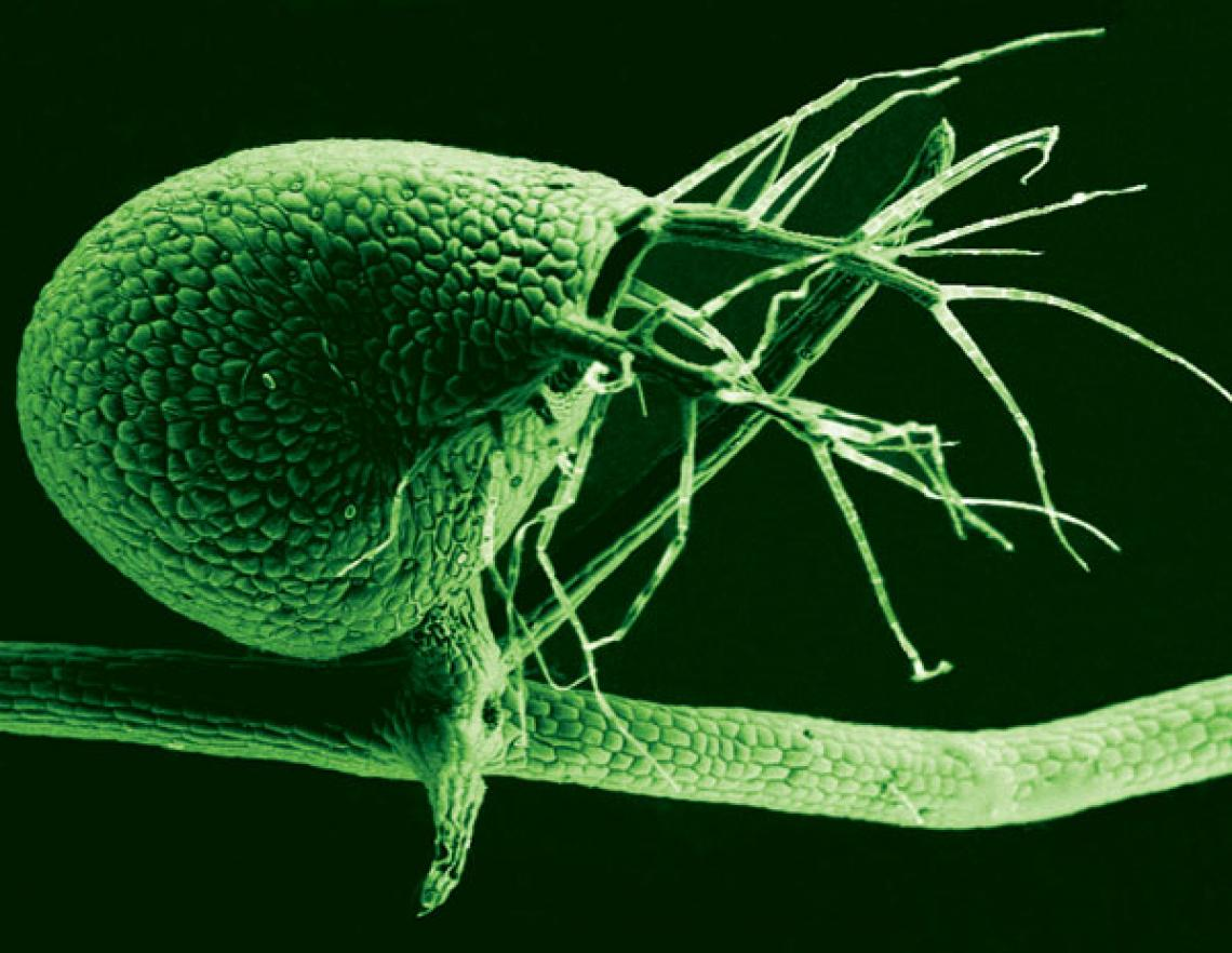A scanning electron microscope image shows the tiny, 1-millimeter-long bladders used to catch small organisms by Utricularia gibba, the humped bladderwort plant . The submerged growing plant is a voracious carnivore, with its bladders leveraging vacuum pr