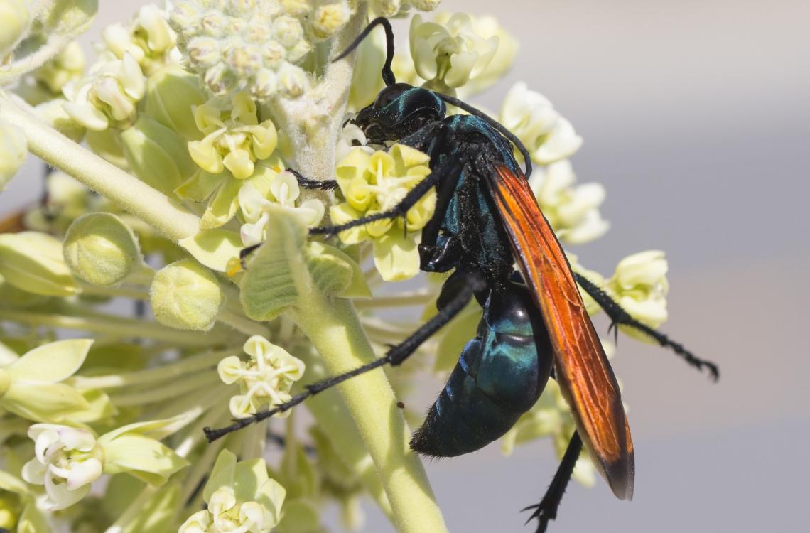 a tarantula hawk wasp on a flower