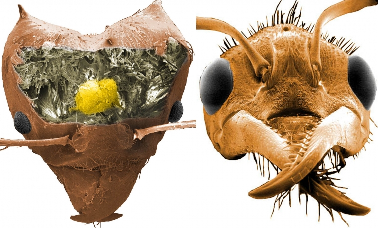 The brain inside the head of a leaf-cutting ant is shown next to the head of another ant species, the Australian bull ant.