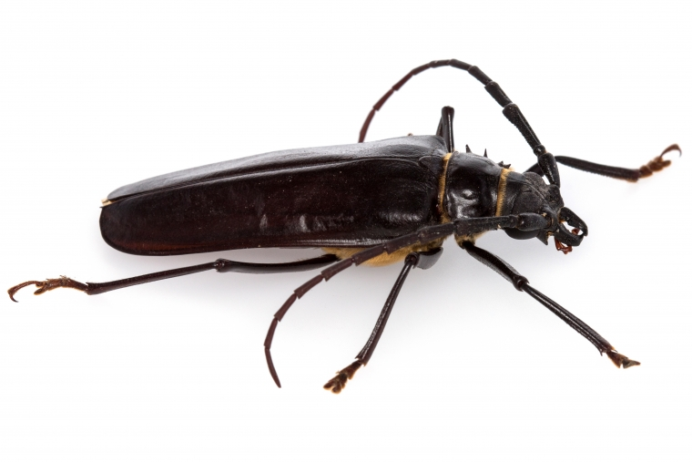 Palo Verde Borer Beetle identifiable by its long slender black body and long antennae