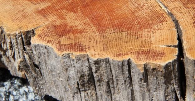 A slice of bristle cone pine.