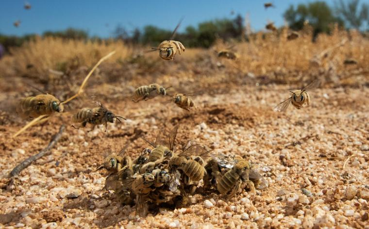 This time of year, native solitary bees, like the above Diadasia rinconis, aggregate nest and mate in the Sonoran Desert.