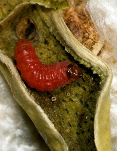 Pink bollworm caterpillar