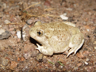 Mexican spadefoot toad