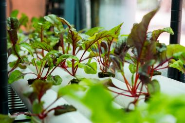 "Fast-growing leafy green plants, such as chard, are ideal candidates for vertical farming. ""At this point, I'm not recommending production of grains in vertical farms, because grains need really large land areas,"" Joel Cuello says. ""They're more energy in"