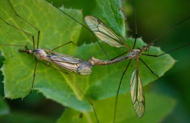 Once crane flies mate, they have fulfilled their life goal and die.