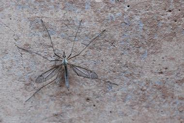 During their brief adult life, crane flies eat very little or nothing at all, which is why they spend much of their time motionless, in an attempt to conserve energy.