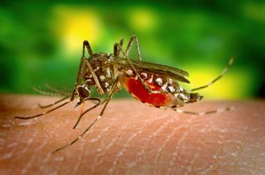Recognized by white markings on the legs, a mosquito of the species Aedes aegypti feeds on human blood.